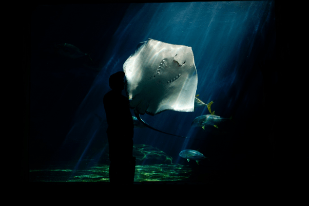 aquarium - sting ray
